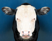 Vache regardant fixement l'appareil-photo Photographie stock