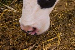 Vache repérée noire et blanche à laiterie dans le village Photographie stock libre de droits