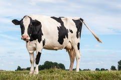 Vache repérée noire et blanche se tenant sur l'herbe photos libres de droits