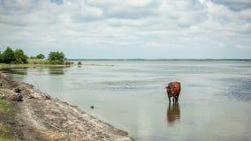 Vache restant dans le lac Image libre de droits