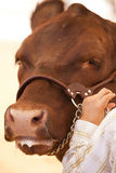 Vache rouge Images stock