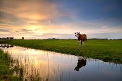 Vache rouge par la rivière au coucher du soleil Image libre de droits