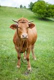 Vache rouge polonaise sur un pâturage vert Images libres de droits