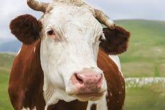 Vache rouge regardant dans l'appareil-photo Photographie stock libre de droits