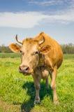 Vache rouge sur un pré ensoleillé vert La vie de pays européen Photographie stock libre de droits
