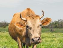 Vache rouge sur un pré rustique vert de ressort Photo libre de droits