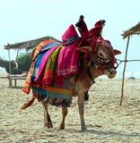 Vache sacrée à Indien sur la plage Images libres de droits