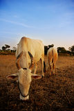 Vache sacrée et veau Photo stock