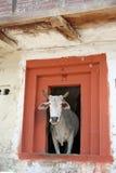 Vache sainte dans la maison rurale de montagne, kullu Inde Photographie stock libre de droits