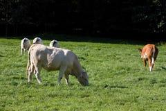 Vache satisfaisante Photographie stock libre de droits