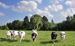 Vache-scape Photographie stock libre de droits