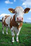 Vache se reposant sur l'herbe verte Photographie stock