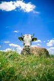 Vache se reposant sur la côte images libres de droits