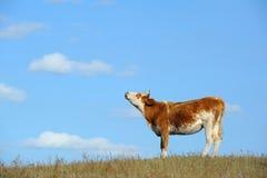 Vache se tenant dans le domaine d'automne Photographie stock