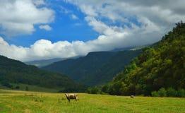 Vache seule Photo stock