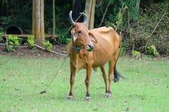 Vache seule Photos libres de droits