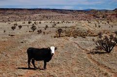 Vache seule sur la prairie Photographie stock
