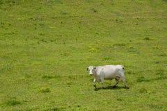Vache seule (Taureau de Bos) dans un domaine. Photographie stock libre de droits