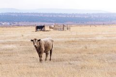 Vache simple dans un grand domaine sec regardant la caméra photo stock