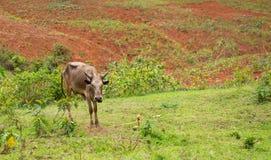 vache sous-alimentée maigre en Afrique images stock
