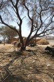 Vache sous l'arbre de huarango Photographie stock