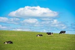 Vache suédoise sur un pré photographie stock libre de droits