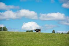 Vache suédoise sur un pré 2 images libres de droits