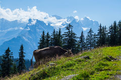 Vache suisse à Alpes Images libres de droits