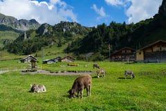 Vache suisse à Alpes Photographie stock libre de droits