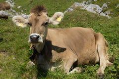 Vache suisse sur le pré de montagne dans les Alpes Image stock