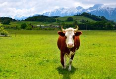 Vache suisse sur un pâturage d'été Photographie stock libre de droits