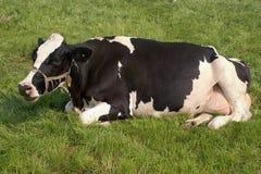 Vache sur l'herbe Photographie stock
