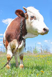 Vache sur l'herbe verte Photos libres de droits
