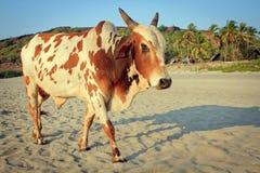Vache sur la belle plage tropicale, Goa Photos libres de droits