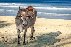 Vache sur la belle plage tropicale Trincomalee chez Sri Lanka Photo libre de droits
