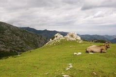 Vache sur la montagne Photographie stock libre de droits