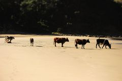 Vache sur la plage 3 photographie stock libre de droits