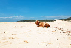 Vache sur la plage Photographie stock