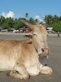 Vache sur la plage Photos stock