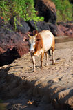 Vache sur la plage Image libre de droits