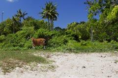 Vache sur la plage dans Bali, Indonésie Photo libre de droits