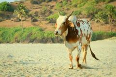 Vache sur la plage de goa Photographie stock