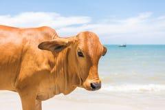 Vache sur la plage en Asie Image stock