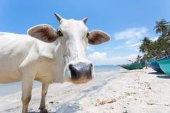 Vache sur la plage en Asie Images libres de droits