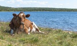 Vache sur la plage en Norvège Photographie stock