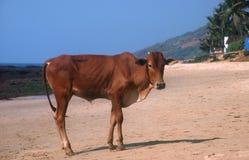 Vache sur la plage, Inde. Photographie stock