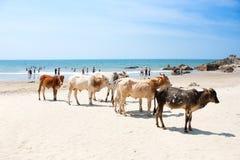 Vache sur la plage tropicale, Goa, Inde Photos libres de droits