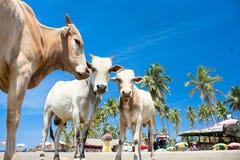 Vache sur la plage tropicale, Goa, Inde Image libre de droits