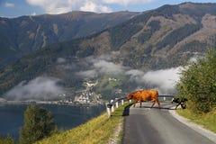 Vache sur la route Photos libres de droits