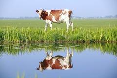 Vache sur la zone Photos libres de droits